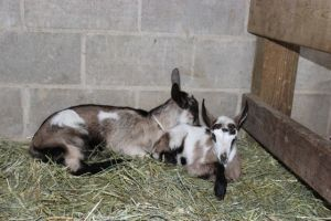 Mocha and Caramel, growing as fast as IL weeds, and drinking almost a gallon a day of Latte's milk!