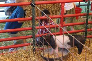 N admiring a pig.