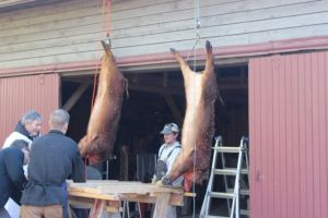 After eviscerating, they hung the hogs on gambrels to skin them.