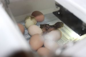 If you look closely, you can see of the other eggs that are pipped.